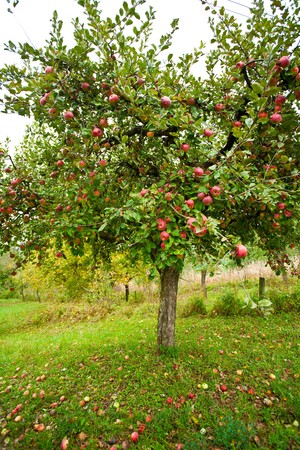 Apple trees in an orchard, with red apples ready for harvest photo