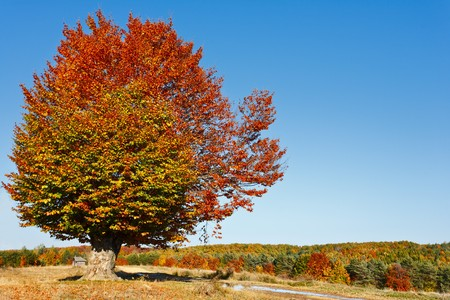 Autumnal landscape with beech trees in a sunny day photo
