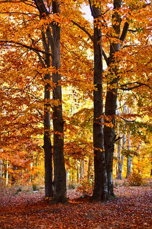Landscape with beech forest in autumnal colors photo