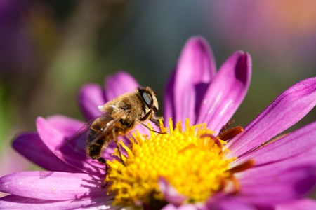Macro of a bee on a purple daisy flower photo