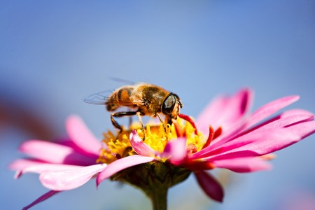Macro of a bee on a purple daisy flower Stock Photo - 8147652