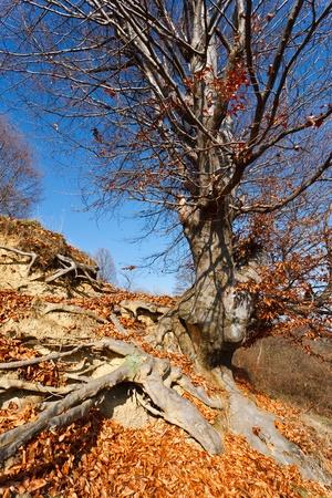 Big single beech tree on a hill photo