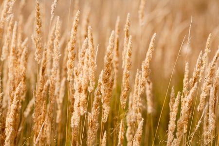 Image of yellow cattail bulrush for use as background or wallpaper Stock Photo - 8336168