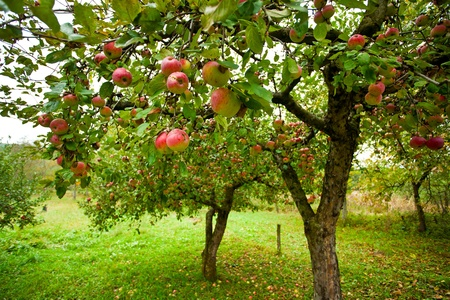 arbol de manzanas: Árboles con manzanas rojas en un huerto Foto de archivo