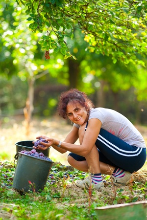 Young woman picking plums in an orchard photo