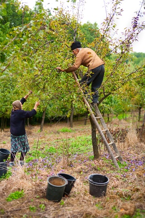 Old farmer and his wife harvesting plums in an orchard photo