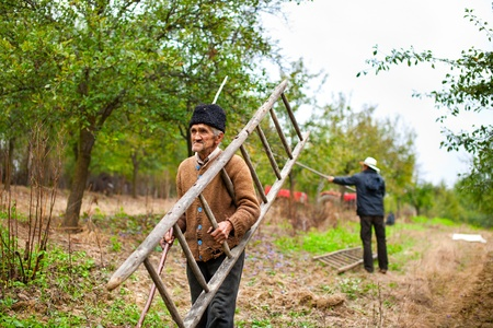 Old farmer carrying a wooden ladder in a plum trees orchard photo