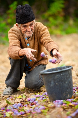 Old farmer picking plums in a bucket Stock Photo