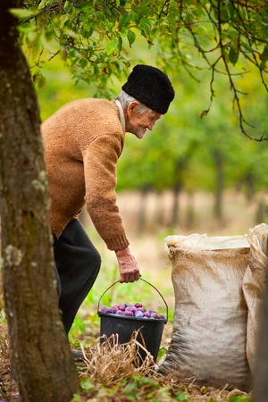 Old farmer carrying a bucket full of plums in an orchard photo