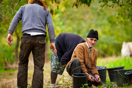 Rural family at plum harvesting in an orchard photo