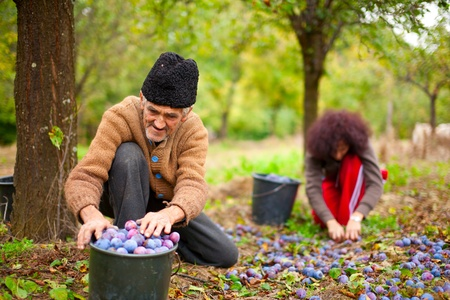 Old farmer and his daughter in background picking plums in an orchard photo
