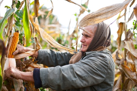 Portrait of an old woman harvesting corn photo