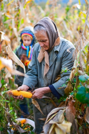 grandmother grandchild: Old woman and her grandson harvesting corn Stock Photo