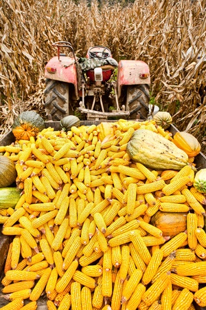 Tractor with a trailer full of corn cobs in a corn field Stock Photo - 8336258