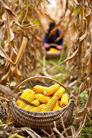トウモロコシの収穫の時にバスケット、人が背景をぼかした写真で働いています。 写真素材
