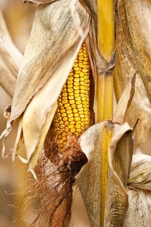 Close up of a ripe corn cob on a stalk photo