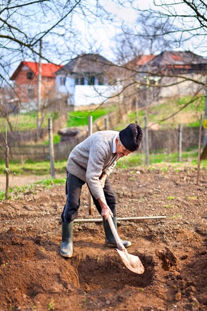 Old farmer digging in the garden for planting trees photo