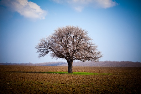 European hornbeam (carpinus betulus) in a ploughed land photo