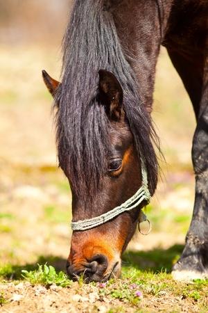 unbound: Closeup portrait of a brown horse grazing