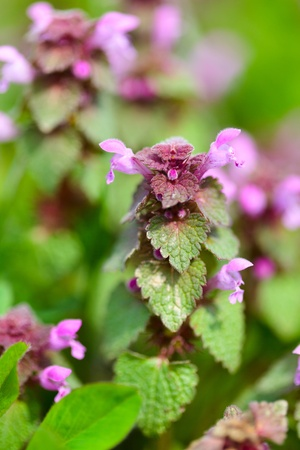Close up of dead nettle leaves and flowers photo