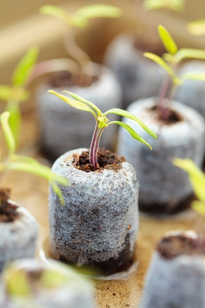 Closeup of tomato seedlings in peat balls, outdoor photo