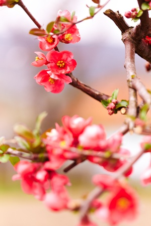 Close up of a japanese flowering quince photo