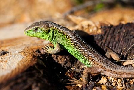 Closeup portrait of a green lizard outdoor photo