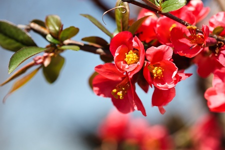 Closeup of a japanese flowering quince photo