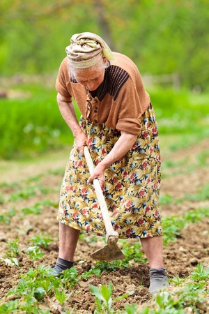 Old rural woman weeding through potato rows in a field, manual labor photo