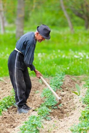 ploegen: Oude boer met hoed wieden door een aardappel veld