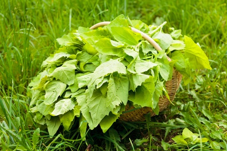 Basket with freshly harvested lettuce in grass photo