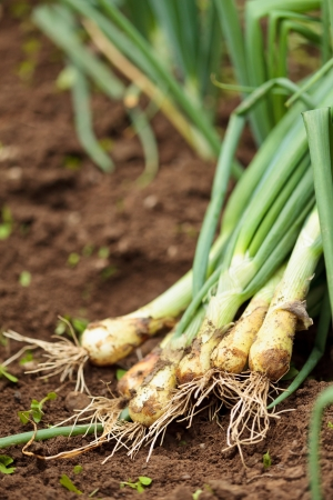 Closeup of freshly picked onions on ground in a garden