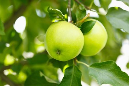 verde manzana: Detalle de manzanas verdes en una rama en un huerto Foto de archivo
