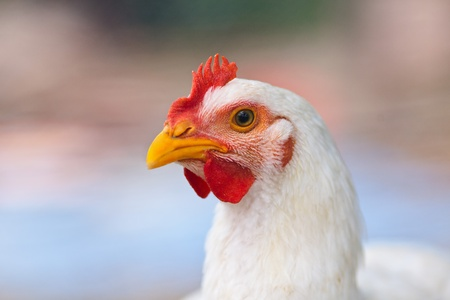 Closeup portrait of a white chicken outdoor Stock Photo