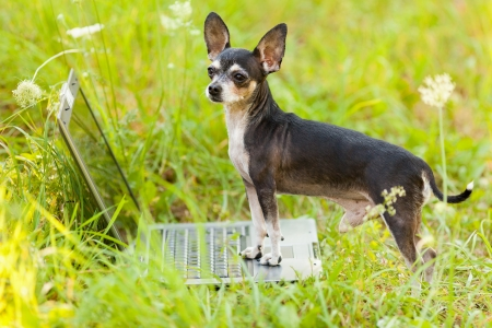 Portrait of a chihuahua dog in front of a laptop outdoor on a meadow photo