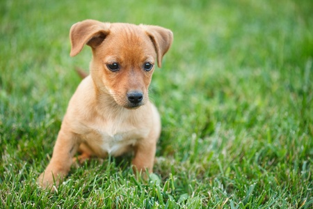 Closeup portrait of a Dachshund puppy in grass Stock Photo