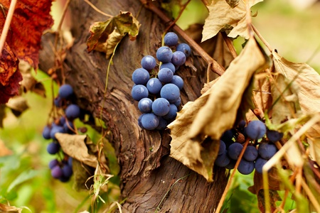 Closeup of clusters of ripe blue grapes on a vine