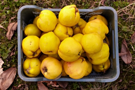 quinces: Freshly harvested quinces in a crate on the grass Stock Photo