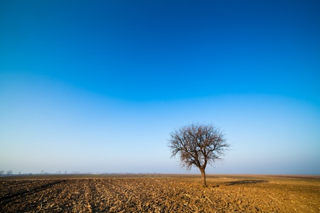 hornbeam: Single hornbeam tree in a plow land under blue sky