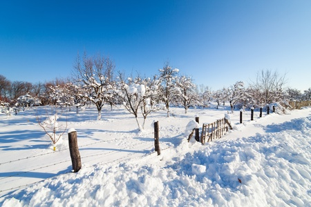Orchard with plum, apple and cherry trees under snow in a day with clear blue sky Stock Photo - 12223079
