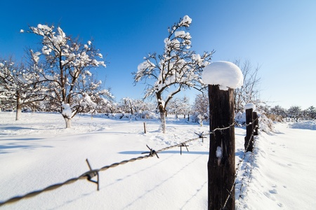 Orchard with plum, apple and cherry trees under snow in a day with clear blue sky photo