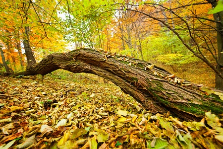Fallen tree in the forest with yellow leaves Stock Photo - 12223154