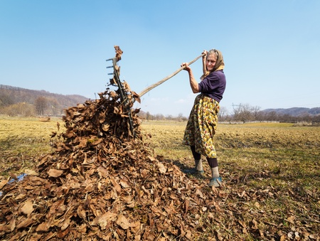 Old woman cleaning fallen walnut leaves with a rake photo