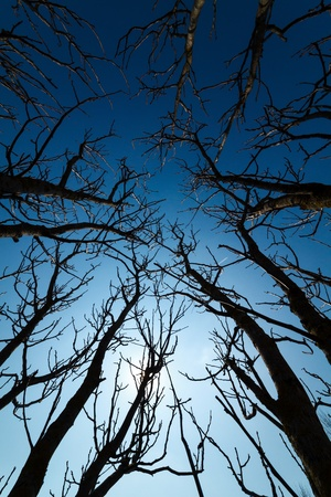 Tall trees branches silhouettes against the deep blue sky photo