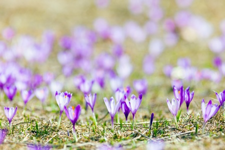 Closeup on a field of crocus flowers in the spring photo