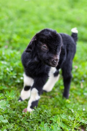 Portrait of a new born baby goat standing in a grass field