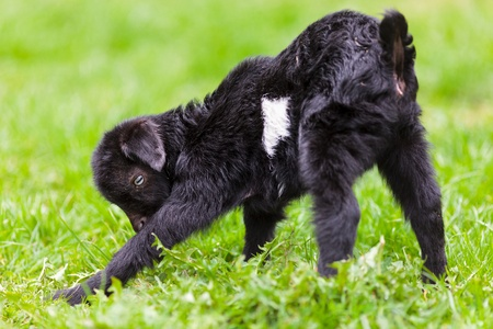 Portrait of a new born baby goat standing in a grass field  photo