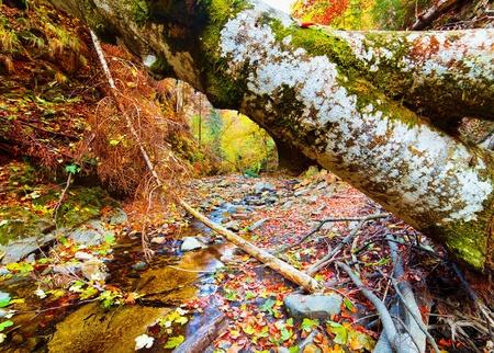 liquen: �rbol ca�do en un valle con un arroyo que fluye por debajo