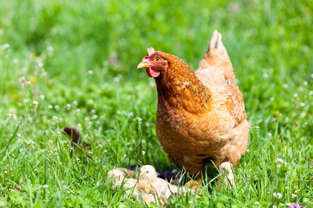 Closeup of a mother chicken with its baby chicks in grass Stock Photo - 13539303