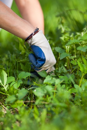 Woman picking fresh nettle leaves with protection gloves Stock Photo - 13539274